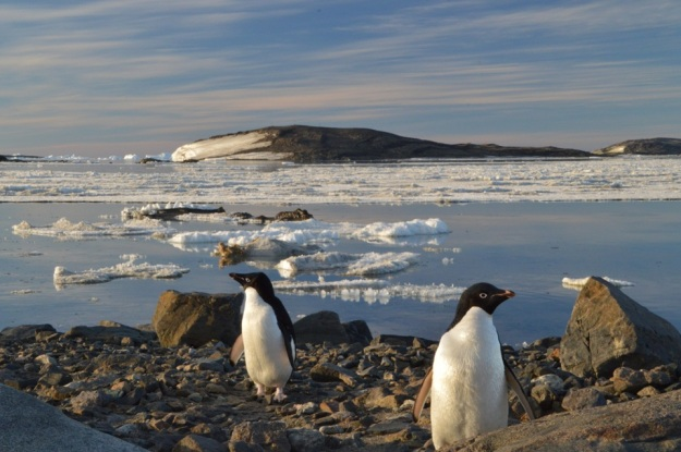 Some Adelie penguins walk into my photo, Boxing day
